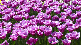 Фиолетовые тюльпаны для предпосылки Стоковые Изображения RF