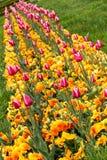 Фиолетовые тюльпаны Стоковые Изображения