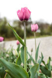 Фиолетовые тюльпаны Стоковое Изображение RF