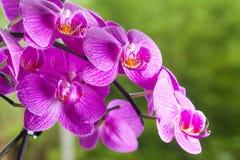 Фиолетовые фиолетовые орхидеи в тропическом саде Стоковое фото RF