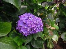 Фиолетовые фиолетовые цветки гортензии Шарик-формы Стоковая Фотография RF