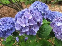 Фиолетовые цветения гортензии ` снежного кома ` с листьями и ветвями Стоковые Изображения RF