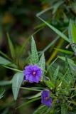 Фиолетовые цветения кенгуру Яблока Стоковые Фото
