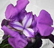Фиолетовые цветеня радужки Стоковое Фото