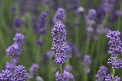 Фиолетовые цветки - лаванда стоковое изображение rf