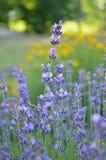 Фиолетовые цветки лаванды в лете стоковые фото
