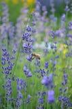 Фиолетовые цветки лаванды в саде стоковые фото