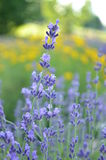Фиолетовые цветки лаванды в саде стоковая фотография rf