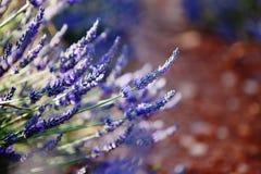 Фиолетовые цветки лаванды, Провансаль, Франция Стоковая Фотография