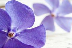 Фиолетовые цветки барвинка стоковые изображения
