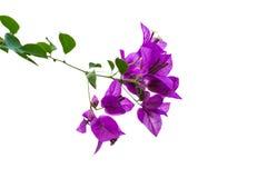 Фиолетовые цветки бугинвилии и листья зеленого цвета Стоковое Изображение RF