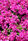 Фиолетовые цветки бугинвилии Стоковое Фото