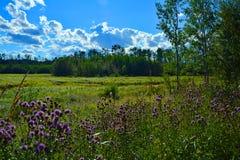 Фиолетовые цветки в лесе страны бизона Стоковые Изображения