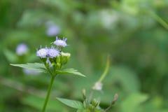 Фиолетовые цветки в зеленой естественной предпосылке заусенца Стоковые Фото