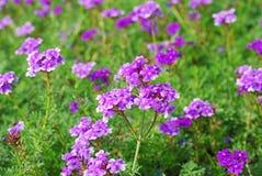 Фиолетовые цветки в поле Стоковые Изображения