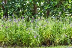 Фиолетовые цветки в саде дома Стоковое Изображение RF