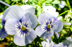 Фиолетовые цветки в саде Стоковая Фотография