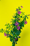 фиолетовые цветки в Surat Thani Таиланде Стоковое Фото