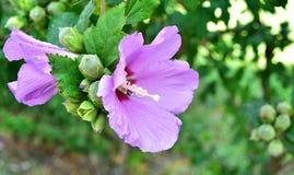Фиолетовые цветки гибискуса с падениями дождя Стоковая Фотография