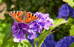 Фиолетовые цветки и бабочка Hortensia. Стоковые Фотографии RF