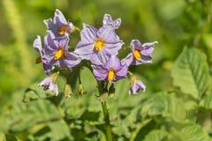 Фиолетовые цветки картошки в цветени Стоковое Изображение