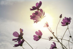 Фиолетовые цветки космоса осмотренные от земли Стоковые Фото