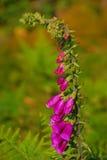 Фиолетовые цветки колокола Стоковые Изображения