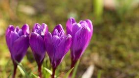 Фиолетовые цветки крокуса в весеннем времени сток-видео