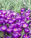 Фиолетовые цветки крокуса зацветая сад Стоковое Изображение