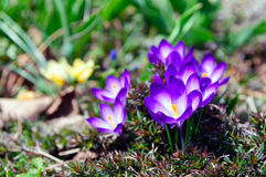 Фиолетовые цветки крокуса Стоковое Изображение