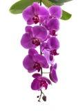 Фиолетовые цветки на белой предпосылке Стоковые Фотографии RF