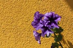 Фиолетовые цветки на предпосылке желтого гипсолита грубая стена текстуры стоковые изображения rf