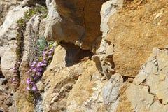 Фиолетовые цветки на утесе Стоковая Фотография