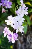 Фиолетовые цветки орхидеи белых цветков Стоковая Фотография RF