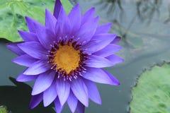 Фиолетовые цветки лотоса Стоковое фото RF