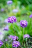 Фиолетовые цветки первоцвета с зеленой предпосылкой стоковое фото