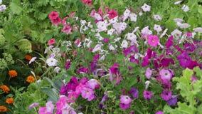 Фиолетовые цветки петуний сток-видео