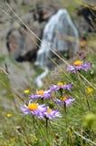 Фиолетовые цветки с водопадом горы в предпосылке Стоковые Изображения RF