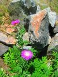 Фиолетовые цветки с зелеными листьями и большими серыми камнями Стоковое Изображение RF