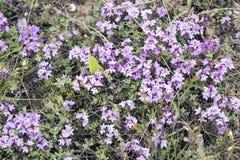 Фиолетовые цветки тимиана крымские Стоковые Фото