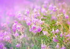 Фиолетовые цветки луга Стоковые Изображения RF