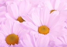 Фиолетовые цветки Стоковое Изображение RF