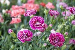 фиолетовые цветки стоковое фото