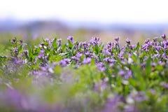 Фиолетовые цветки Стоковые Изображения RF