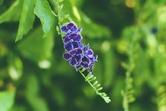 Фиолетовые цветки Duranta Erecta на дереве Duranta Стоковые Изображения