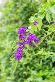 Фиолетовые цветки Duranta Erecta Стоковое Изображение