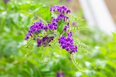 Фиолетовые цветки Duranta Erecta Стоковые Изображения