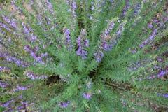 Фиолетовые цветки officinalis Hyssopus стоковые фотографии rf