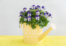 Фиолетовые цветки Pansy в малой желтой моча чонсервной банке стоковая фотография