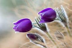 Фиолетовые цветки pasque стоковое изображение rf